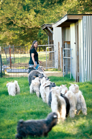 Lisa leading a string of goats