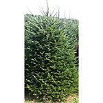 Live Fraser Fir Christmas Tree, Two-Sided, 6 ft. to 8 ft.