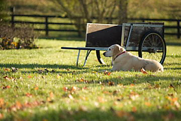 Yellow labrador retriever laying in a yard.