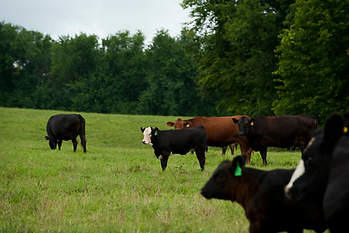 Tractor Supply Cows : Protect your cattle from pests this summer tractor