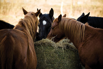 horses eating off a hay bale