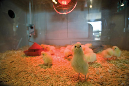 floor view of a brooder with a heat lamp in the background and one chick in the foreground