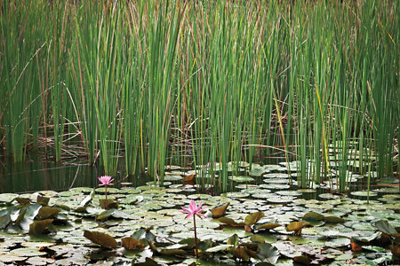 grass growing in a pond with lily pads