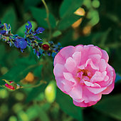 pink rose with blue flower buds behind it