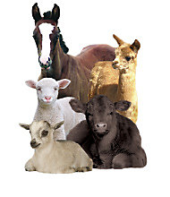 Various animal species: Horse, lamb, goat and cow