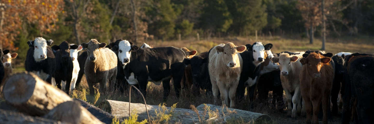 Tractor Supply Cows : Cattle care tractor supply co