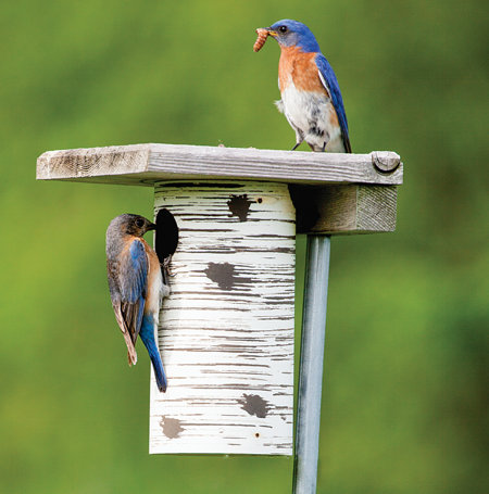 Attract Bluebirds To Your Yard