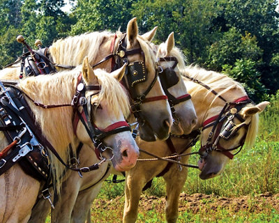 Endangered American Cream Draft Horse Tractor Supply Co