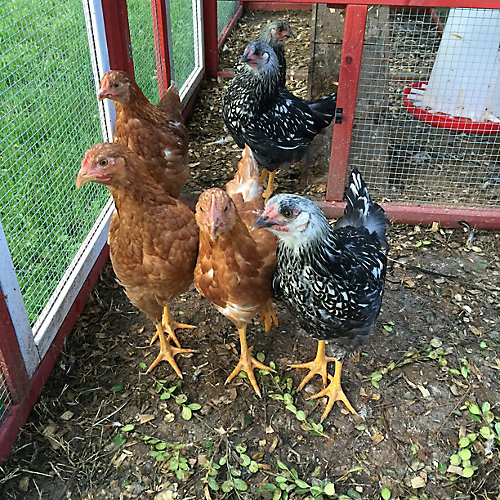Lessons From A First Time Poultry Parent Tractor Supply Co