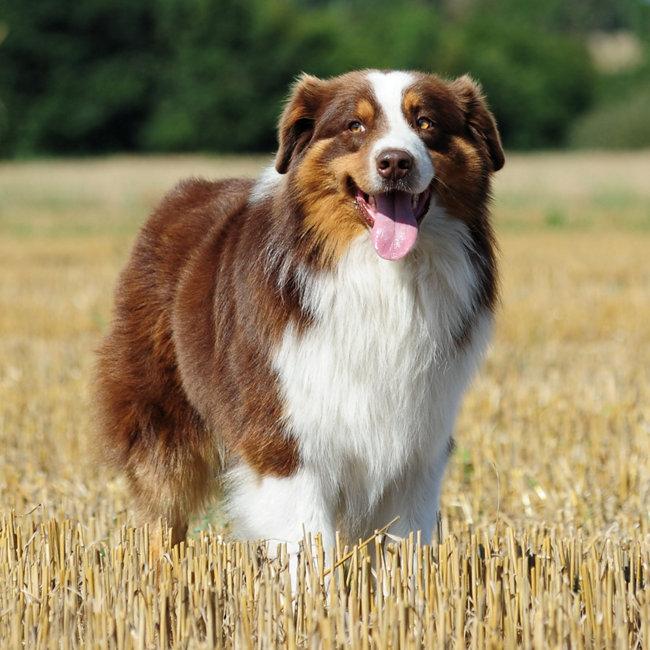 Popular breeds - Australian Shepherd - Tractor Supply Co.