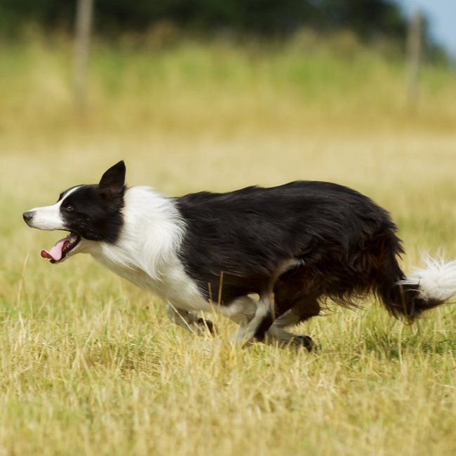Popular dog breeds - Border Collie - Tractor Supply Co.