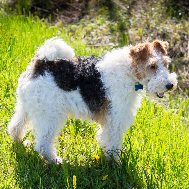 Popular breeds - Fox Terrier - Tractor Supply Co.
