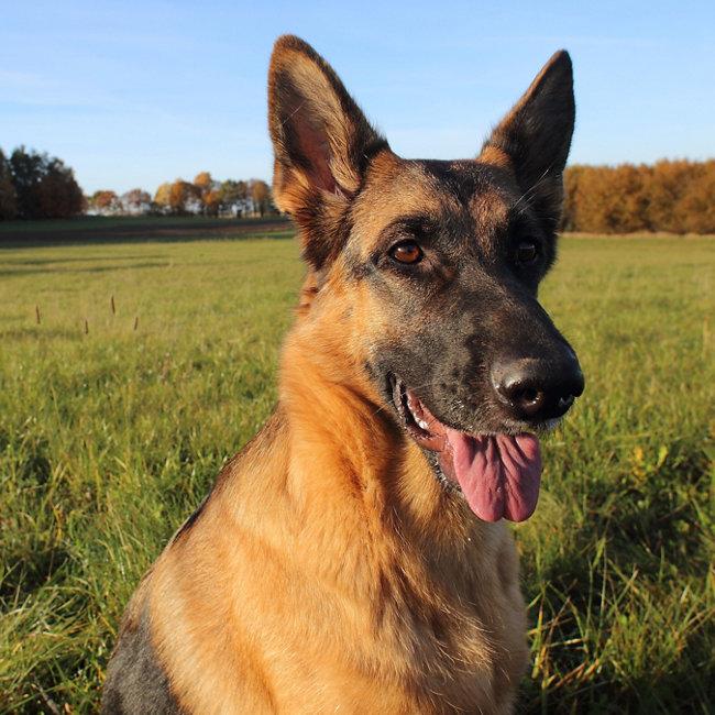 Popular dog breeds - German Shepherd - Tractor Supply Co.
