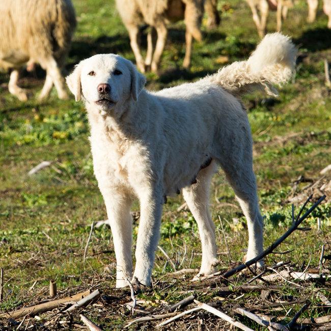 Popular dog breeds - Maremma Sheepdog - Tractor Supply Co.