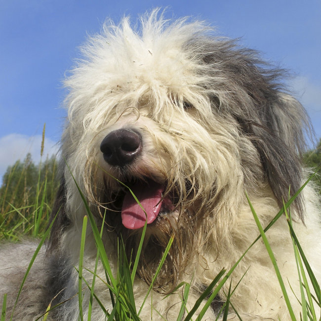 Popular dog breeds - Old English Sheepdog - Tractor Supply Co.