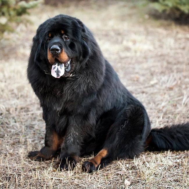 Popular breeds - Tibetan Mastiff - Tractor Supply Co.