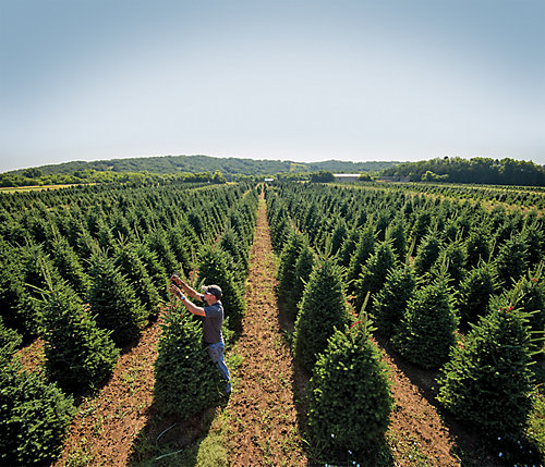 Growing the perfect Christmas tree | Tractor Supply Co.
