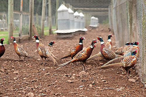 Pheasant farming - Tractor Supply Co.