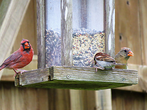 Common Backyard Birds and What to Feed Them - Identifying And Feeding Your Backyard Birds Tractor Supply Co.