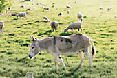 Using Guard Donkeys to Protect Your Herd