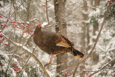 American Wild Turkey - Tractor Supply Co.