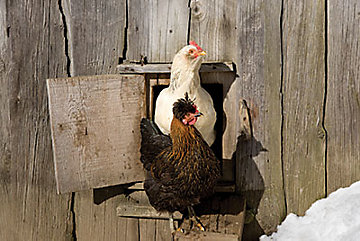 How To Prepare Your Chickens For Winter Chicken Care Tractor