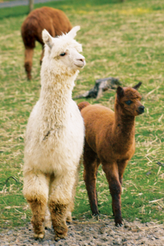 a couple of alpacas in the field
