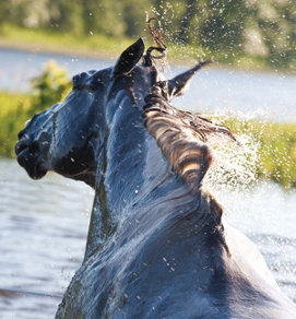 horse shaking water off itself (rear view of the horse's head)
