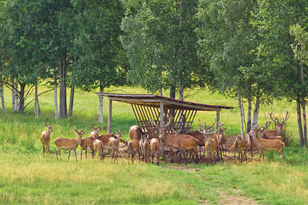 a herd of deer milling around a feeder
