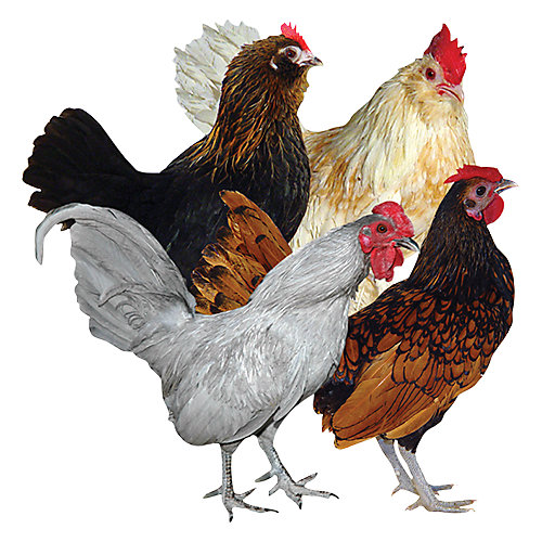 Bantams - Tractor Supply Co.