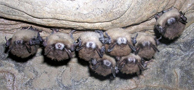 bats roosting in a cave