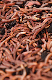 a bunch of red worms
