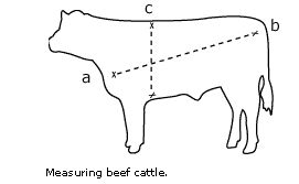 Beef cattle weight diagram