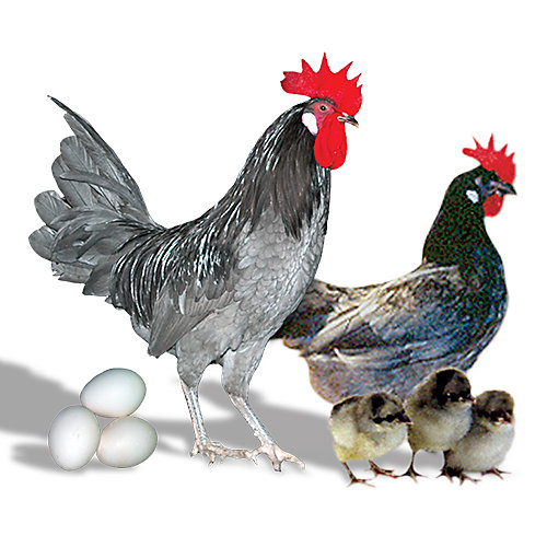 Chicken Breeds   Tractor Supply Co