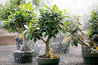 bonsai trees being watered