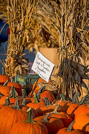 Pumpkins - Tractor Supply Co.