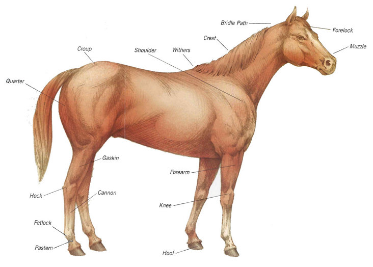 154216 likewise Shiffon in addition Tips For Grooming German Shepherd moreover 25174081 also Out Here issues 2008 Summer buy A Healthy Horse. on shed hair