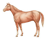 illustration of a horse