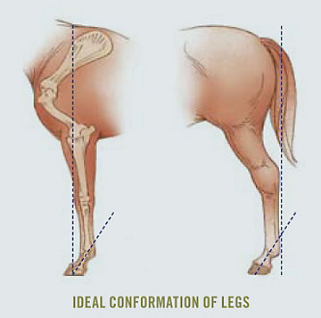 Ideal Conformation of Legs - Side View
