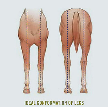 Ideal Conformation of Legs - Front/Back View