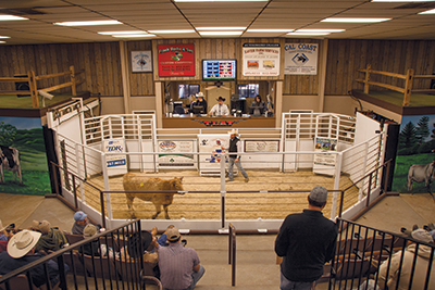 a cow being auctioned off