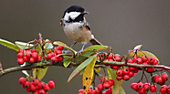 Black-capped Chickadee on branch with red winter berries.