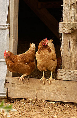 Two chickens standing in doorway of chicken coop