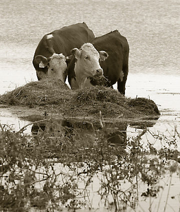 Cows standing in flood water