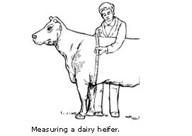 Dairy cattle weight diagram