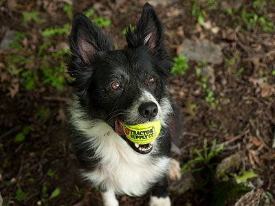Border collie holding a TSC tennis ball in his mouth.