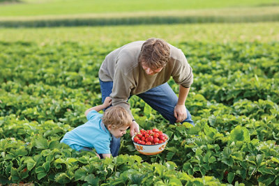 Father picking strawberries with his toddler