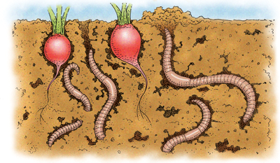 illustration of earthworms tunneling in garden soil under some radishes