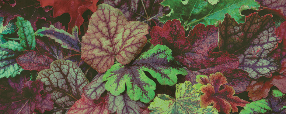 some colorful non-flowering foliage in a garden