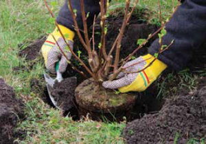 Plant shrubs and evergreens early enough to establish roots before winter - Tractor Supply Co.